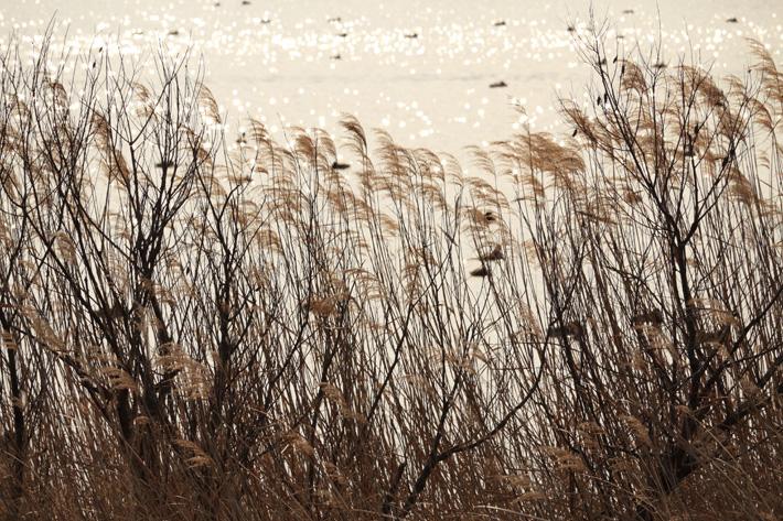 大きな池の手前で風に靡くススキ