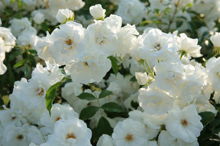 沢山の花が咲いている、白い、つる薔薇